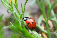 Конец-вверх Ladybug Стоковые Изображения RF