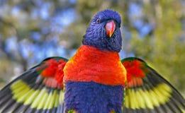 Конец-вверх lorikeet радуги хлопая свои крыла Стоковые Изображения