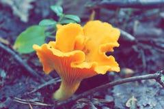 Конец-вверх redhead гриба на холодной предпосылке леса Стоковая Фотография RF