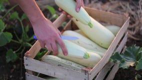 Конец-вверх ` s фермера вручает установку цукини внутри wodden коробка на поле фермы eco сток-видео