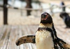 Конец-вверх spheniscus Humboldti пингвина Гумбольдта Стоковые Фото