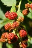 Конец-вверх sprig красных ягод кавказской ежевики garde Стоковые Фото