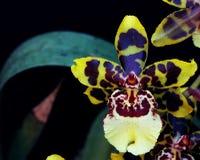 Конец-вверх Unic орхидеи стоковые фотографии rf