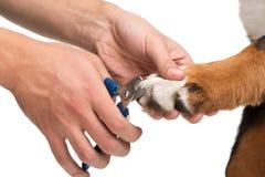 Конец-вверх veterinanian ногтей собаки вырезывания стоковое изображение