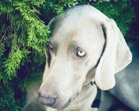 Конец-вверх Weimaraner породы собаки портрета дальше под открытым небом Стоковое Фото