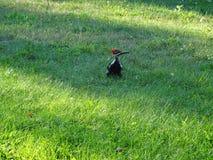 Конец-вверх woodpecker Стоковые Фото