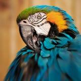 Конец визуального контакта состава квадрата портрета попугая ары вверх по съемке Стоковые Изображения