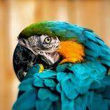 Конец визуального контакта состава квадрата портрета попугая ары вверх по съемке Стоковое Фото