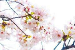 Конец вишневого цвета Сакуры вверх на ветви дерева Стоковое Фото