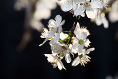 конец вишни цветений вверх Стоковое Фото