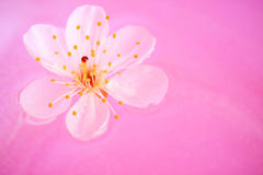 конец вишни цветения вверх Стоковое Изображение RF
