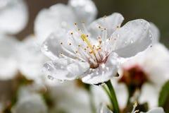 конец вишни цветения вверх Стоковая Фотография