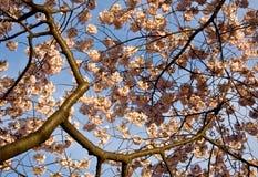конец вишни цветения вверх Стоковое Фото