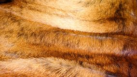 Конец волос собаки боксера вверх Стоковое Изображение RF
