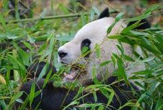 Конец гигантской панды вверх по портрету Стоковые Изображения RF