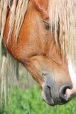 Конец головки лошади Palomino вверх Стоковая Фотография RF