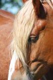 Конец головки лошади Palomino вверх Стоковая Фотография
