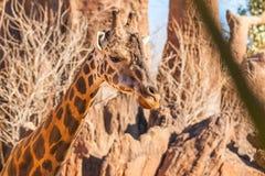 Конец головы портрета жирафа вверх по Кении Стоковые Фото