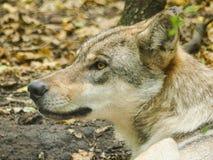 Конец головы серого волка вверх Стоковая Фотография RF