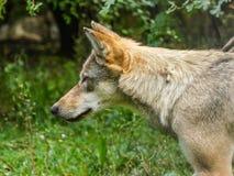 Конец головы серого волка вверх Стоковая Фотография