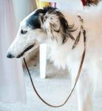 Конец гончей собаки бигля вверх Стоковая Фотография RF