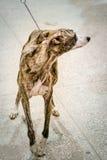 Конец гончей собаки бигля вверх Стоковые Фото