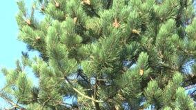 Конец горы ветвей сосны вверх по пошатывать в ветре видеоматериал