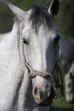 Белая лошадь стоя все еще Стоковые Фотографии RF