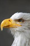 Конец головы белоголового орлана вверх Стоковые Фото
