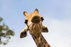 Конец головы жирафа вверх в зоопарке Стоковое Изображение RF