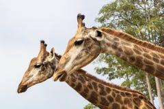 Конец головы жирафа вверх в зоопарке Стоковое Изображение
