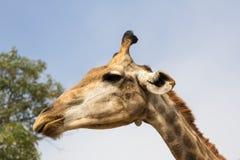 Конец головы жирафа вверх в зоопарке Стоковые Фотографии RF