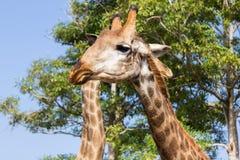 Конец головы жирафа вверх в зоопарке Стоковое фото RF
