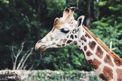 Конец головы жирафа вверх, в природе Стоковая Фотография
