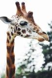 Конец головы жирафа вверх, в природе Стоковая Фотография RF