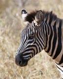 Конец головы зебры вверх по sideview Стоковые Фотографии RF