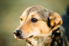 Конец головы собаки Брайна вверх по портрету Стоковая Фотография