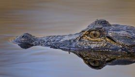 Конец глаза американского аллигатора вверх, охраняемая природная территория соотечественника болота Okefenokee Стоковая Фотография RF