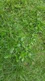 Конец детали лужайки зеленой травы вверх Стоковое фото RF