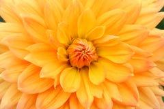 Конец желтого цвета георгина вверх по цветку георгинов Стоковое Изображение