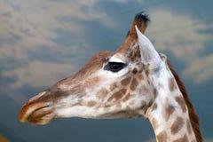 Конец жирафа портрета вверх над голубым небом Стоковое Фото