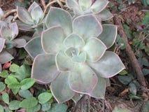 Конец завода кактуса succulant вверх в саде Стоковые Изображения RF