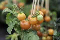 Конец завода томата вверх Стоковое фото RF