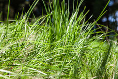 Конец зеленой травы вверх по деталям Стоковая Фотография