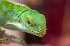 Конец зеленой ящерицы поднимающий вверх и смотря камеру Стоковое Фото