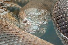 Конец змейки питона вверх в воде Стоковое Изображение