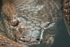 Конец змейки питона вверх в воде Стоковые Изображения RF