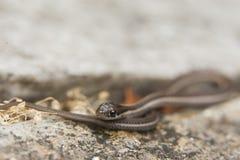 Конец змейки подвязки вверх на лист Стоковая Фотография