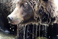 конец коричневого цвета медведя вверх стоковые фото
