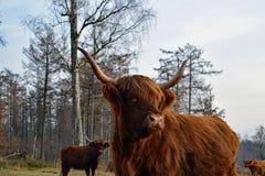 Конец коровы гористой местности вверх Стоковая Фотография